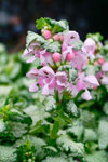 Lamium Candy Frost