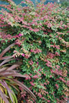 Loropetalum Daybreak Flame
