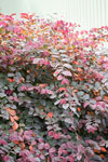 Loropetalum Flame'n'Gorgeous
