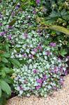 Lamium Orchid Frost