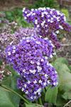 Limonium Perezii Blue