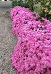 Lampranthus Pink Explosion