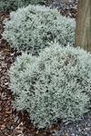 Leucophyta Silver Bullion