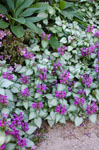 Lamium Stormy Frost