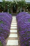 Lavandula Violet Lace
