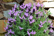 Lavandula Winter Lace