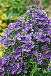 Nemesia Blueberry Ripple