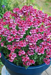 Nemesia Strawberry Ripple