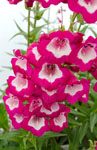 Penstemon Bell Tower Raspberry