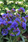 Pulmonaria Electric Blue