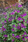 Polygala LITTLE BIBI®