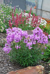 Phlox Minnie Pink