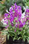 Penstemon Purpleicious