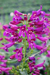 Penstemon Purpleicious