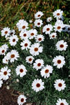 Rhodanthemum African Eyes