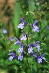 Salvia African Sky