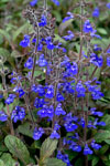 Salvia Aztec Blue