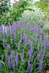 Salvia Blue Mound