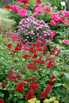 Salvia Heatwave Blaze