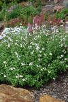 Salvia Heatwave Glimmer