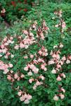 Salvia Heatwave Glow