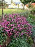 Salvia Heatwave Sparkle