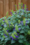 Salvia Limelight