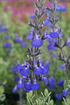 Salvia Mexican Blue