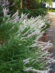 Salvia Velour Pink