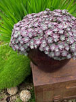 Sedum Purple Blob