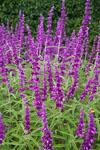 Salvia Santa Barbara