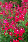 Salvia Sierra Red