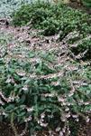 Salvia Waverly