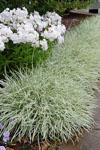 Tulbaghia Silver Lace