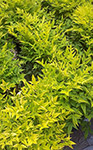 Nandina MAGICAL LEMON LIME TM