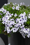 Phlox Pharaoh Blue Eye