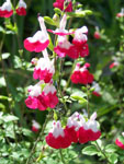 Salvia Hot Lips