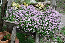 Thymus Pink Buttons