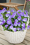 Viola Sweetheat Purple