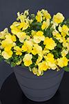 Viola Sweetheat Yellow